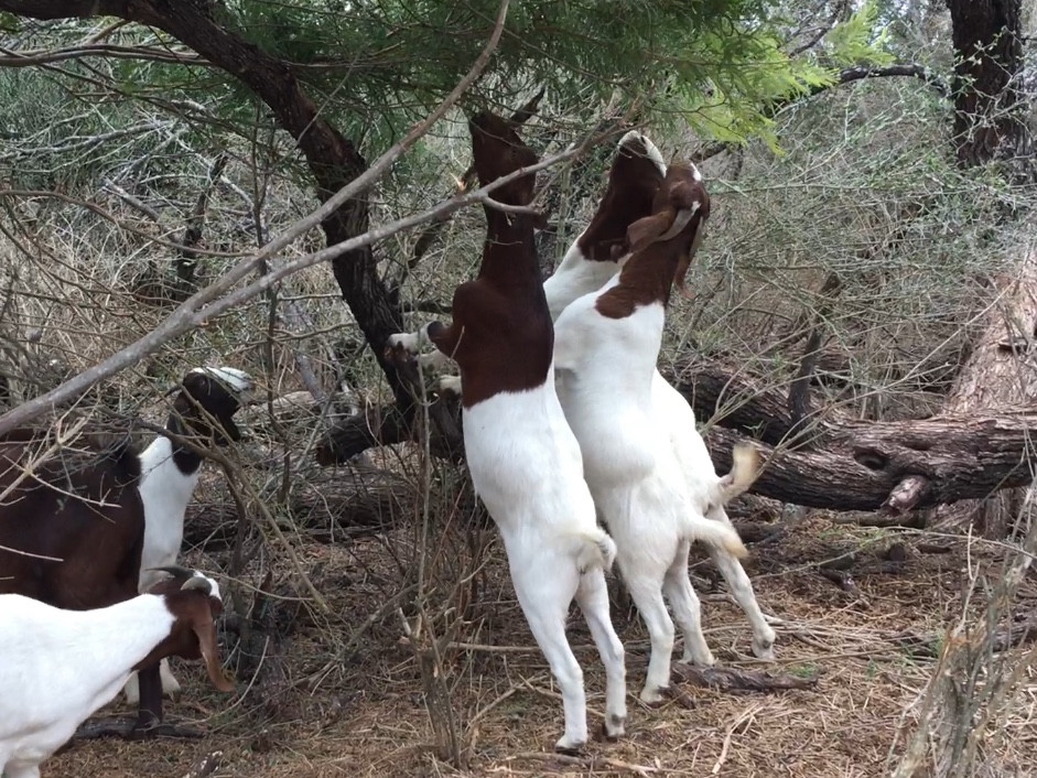 Considerations Before Getting Goats, Parasites, Browsing