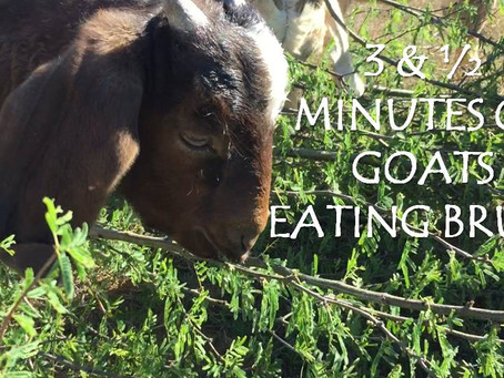 Oh, The Things A Goat Will Eat