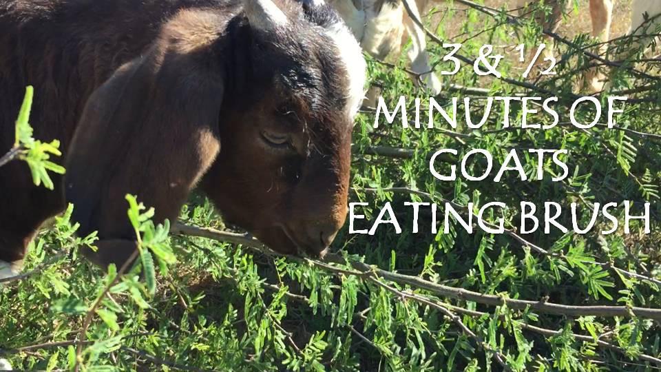 Goats Eating Brush Huisache Video