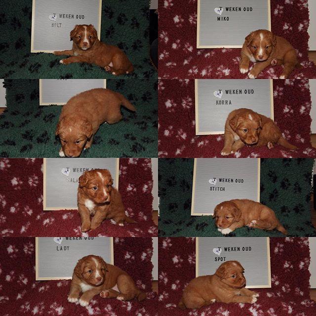 Pups 4 weken oud