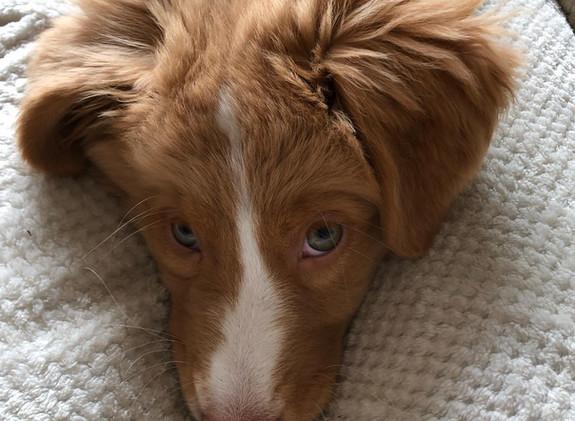 Cayenne pup