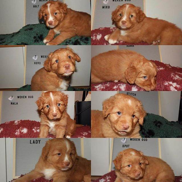 Pups 5 weken oud