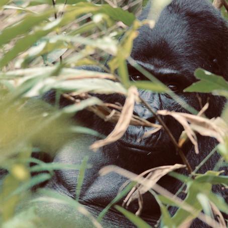 Saving Rwanda Gorillas Through Tourism with Dr. Tara Stoinski