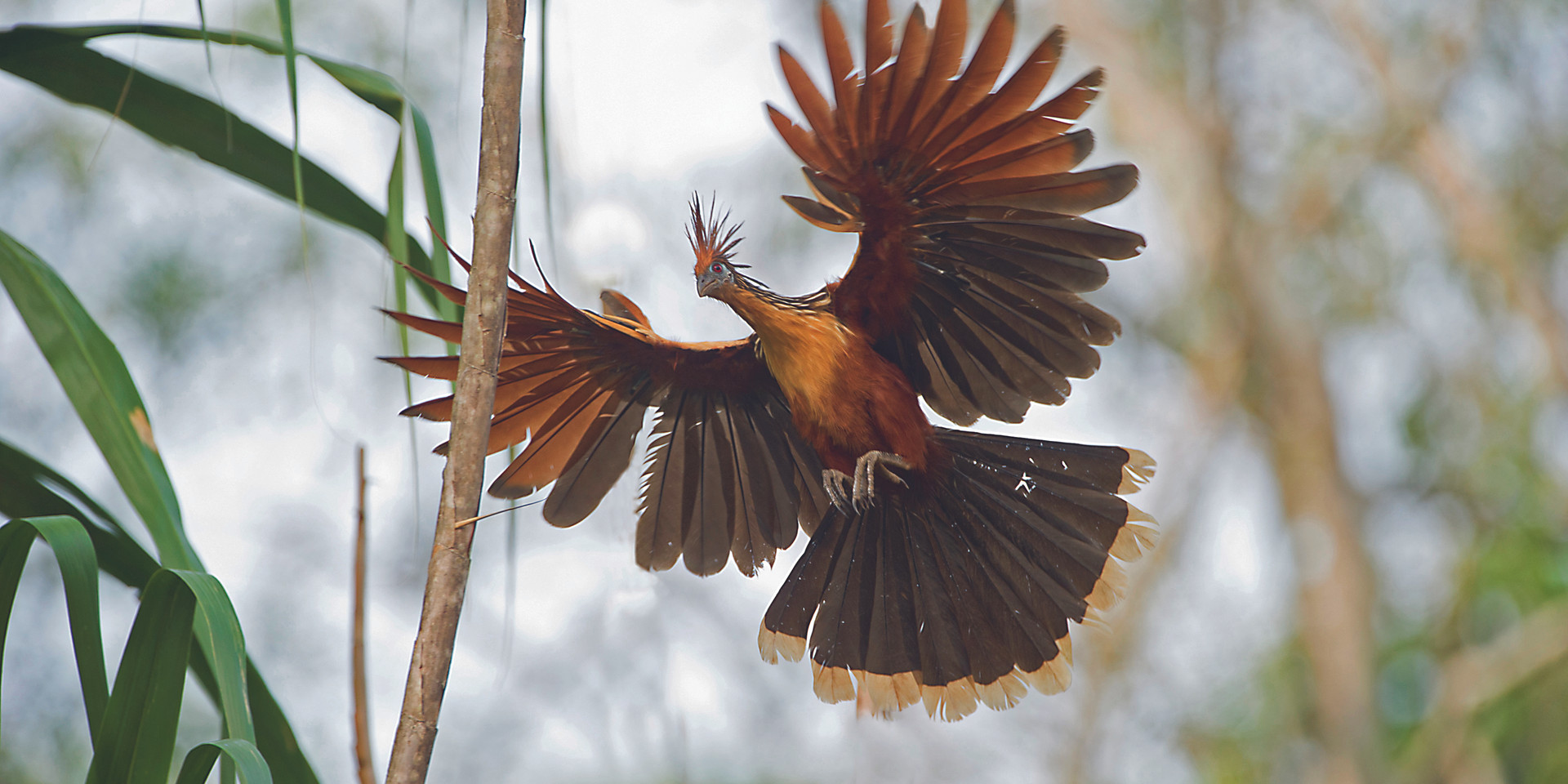 hoatzin - by ericson pinedo.jpg