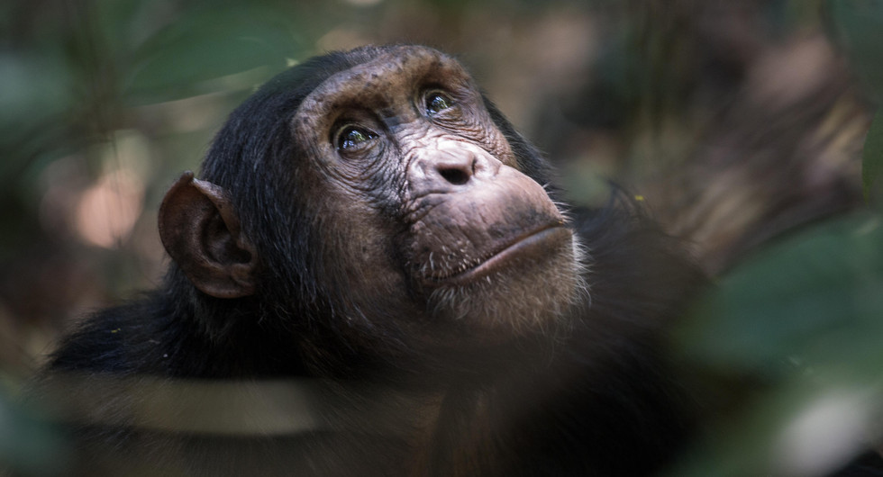 mbali mbali lodges & camps_mbali mbali mahale_chimp_go2africa.jpg