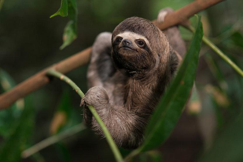 three toed sloth- by mario gomi.jpg