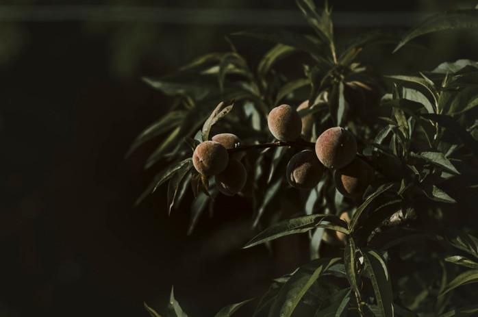 Local olives in Piedmont, Langeh Region.jpg