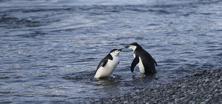 Zügelpinguine, Half Moon Island, South Shetland Islands