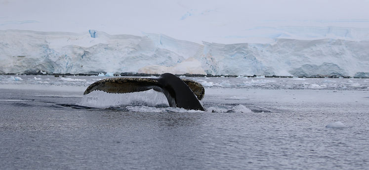 Buckelwal, Fournier Bay, Antarctica