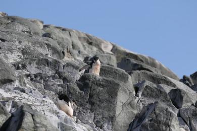 Zügelpinguine in Felsenmeer