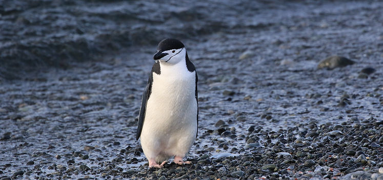 Zügelpinguin, Half Moon Island, South Shetland Islands