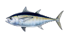 Blackfin Tuna.png