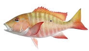 Mutton Snapper.png