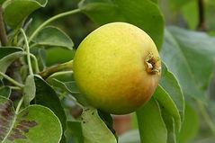 Gilpin Glob pear.jpg