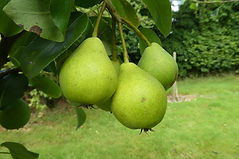Patricks Freehold pear.jpg