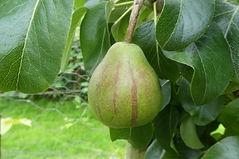 Lyth Lantern pear.jpg