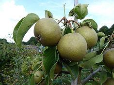 Gilpin Grey pear.jpg