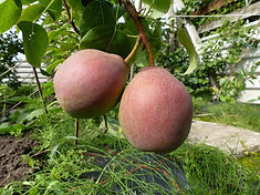 Crookfoot Blush pear.jpg