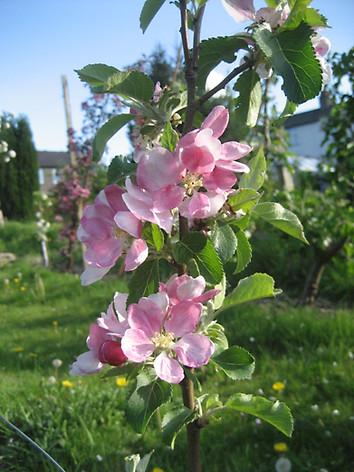 IMG_2731 Lancs Pippin 1 blossom.JPG