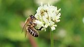 honeybeewhitecloverdevere.jpg