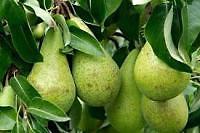 4080_tw200_th200_pears.jpg