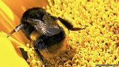 bumblebee_on_sunflower-spl.jpg