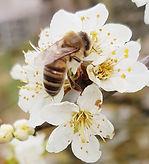 Damson Pollinator