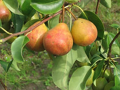 Walton Weeper pear.jpg