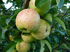 Hazelslack Striped apple.jpg
