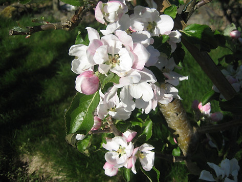 IMG_2713 Alice blossom.JPG