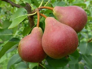 Red Scar pear.jpg