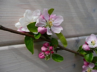 blossom_apples 24-04-10 Rydal Hall.jpg