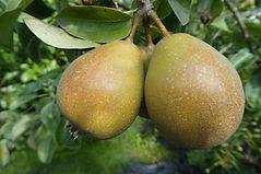 Feredays Fawn pear.jpg