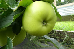 Drumlin Doughnut apple.jpg