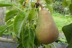 Crookfoot Chieftain pear.jpg