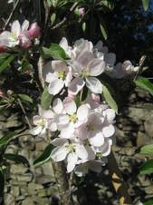 IMG_2711 William Peters blossom.JPG