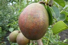 Timperley Mango pear.jpg