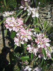 IMG_2710 Merton Russet blossom.JPG