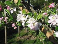 IMG_2719 Keswick Codlin blossom.JPG