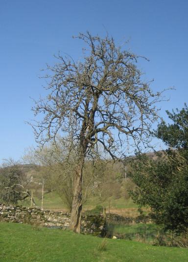 Westmorland Pear Tree.jpg