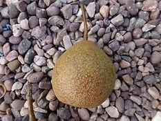Aspden Pear.jpg