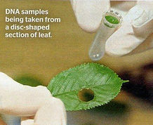 leaf DNA sampling.jpg
