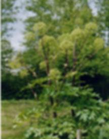 angélique plante marais poitevin dans le parc