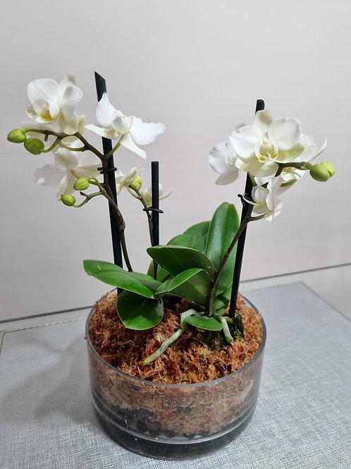 Arreglo 2 Orquídeas  Phaleonopsis mini