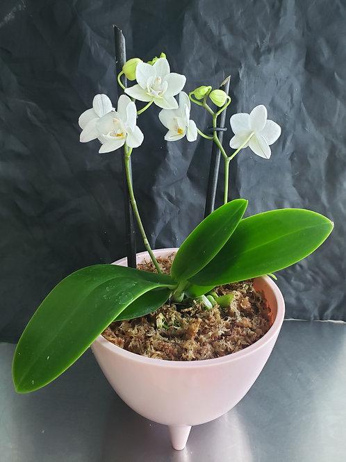 Arreglo  1 Orquídea Phaleonopsis mini