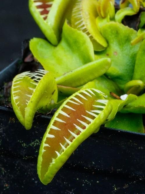 """Cultivar  Dionaea """"Alien"""" #13"""