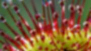 drose capensis macro