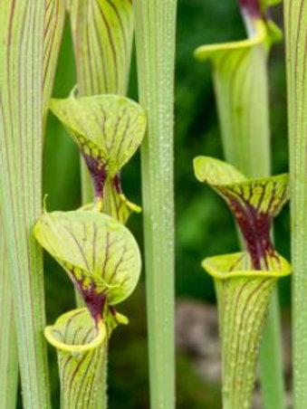 Semillas Sarracenias Flava var Ornata