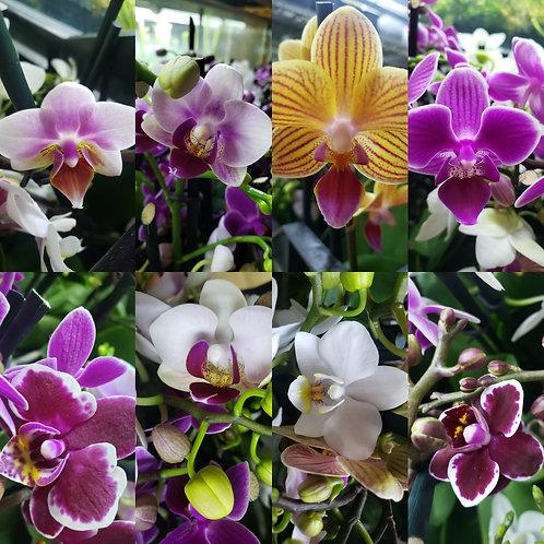 Orquídea Phaleonopsis Enana