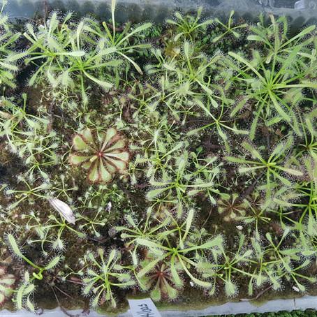 Cómo germinar Droseras subtropicales